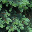 Blue spruce tree close-up. Christmas background - Stock Photo