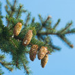 Spruce branches with cones — Stock Photo #14080381