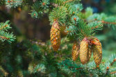 Spruce branches with cones close-up — Stock Photo