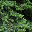 Spruce tree close-up. Christmas background — ストック写真