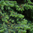 Spruce tree close-up. Christmas background - Stock Photo