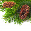 Spruce branches with cones — Foto de Stock