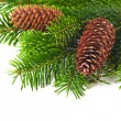 Spruce branches with cones — Stock Photo #17627933