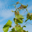 Royalty-Free Stock Photo: Grape branch on a background of a blue sky