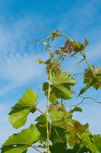 Grape branch on a background of a blue sky — Stock Photo