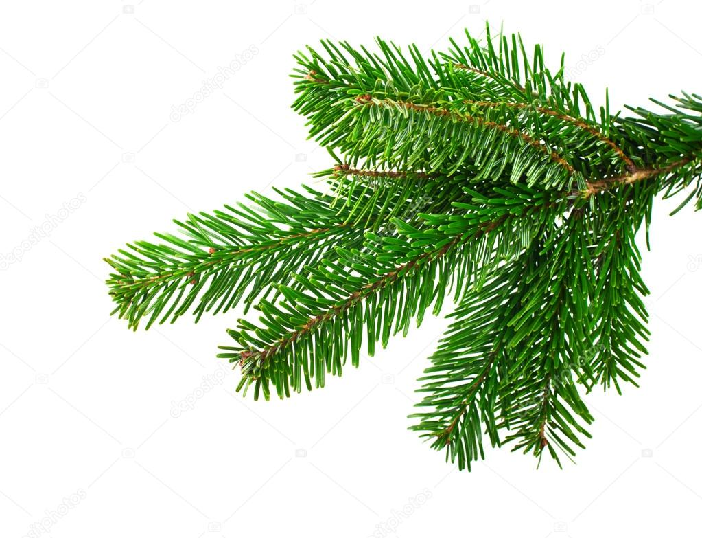 Spruce branch on a white background — Stock Photo #20125783