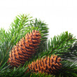 Stockfoto: Spruce branches with cones