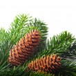 Spruce branches with cones — Stock Photo