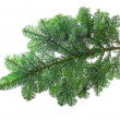fir branch — Stockfoto