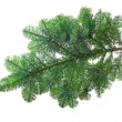 fir branch — Stock Photo #40589129