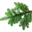 Fir branch on a white background — Fotografia Stock  #45714305