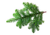 Fir branch on a white background — Zdjęcie stockowe