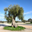 Stock Photo: Centuries-old Olive tree