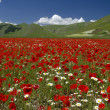 The flowering of Castelluccio di Norcia — Stock Photo
