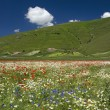 Blossom in Castelluccio di Norcia — Stock Photo
