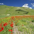Flowering of Castelluccio di Norcia — Stock Photo