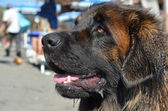 Close-up of Leonberger — Stock Photo
