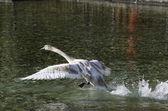 Swan taking off — Stock Photo