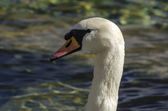 Head Swan — Stock Photo