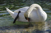 White swan scratching itself with foot — Stock Photo