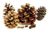 Different varieties of pine cones with seeds. — Stock Photo