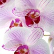 Stock Photo: Beautiful pink orchid close up.