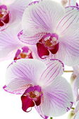 Beautiful pink orchid close up. — Stock Photo
