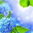 Stock Photo: Beautiful hydrangeflowers.