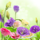 Beautiful flowers eustoma. — Stock Photo