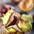 Opened conker. — Stock Photo