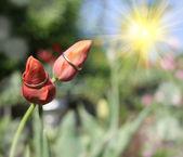 结婚戒指和鲜花郁金香 — 图库照片