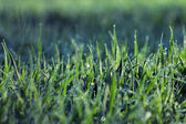 Grass with water drops in morning  — Stock Photo