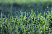 Su damlaları ile sabah çimen — Stok fotoğraf