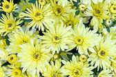 黄色菊花鲜花背景 — 图库照片