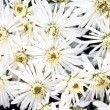 White chrysanthemum flowers background — Stock Photo