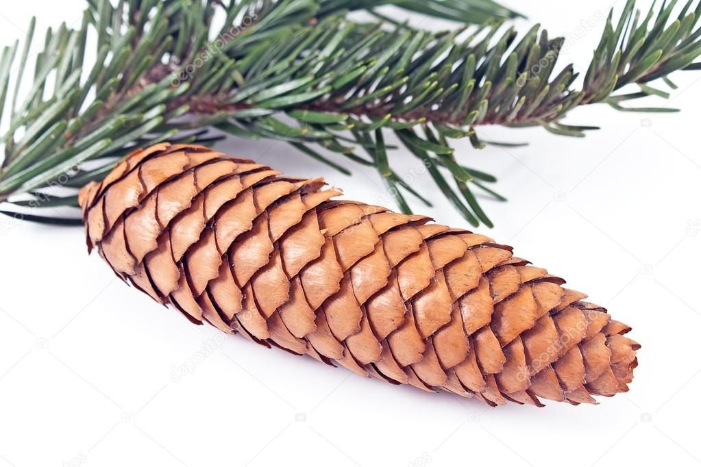 Cone with spruce branch on a white background — Stockfoto #18903425