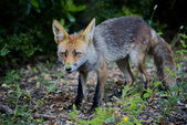 Red fox — Stockfoto