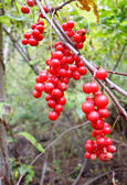 Berries Schisandra chinensis — Stock Photo