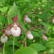 Lady's Slippers — Stock Photo