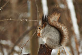 Squirrel in the forest sittino on an iron tube eating nut — Stock Photo
