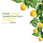 Fresh lemon — Stock fotografie
