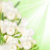White fressia — Stock Photo