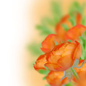 Orange ranunculus — Stock Photo
