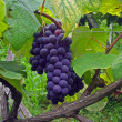 Red grapes in the vineyard — Stock Photo