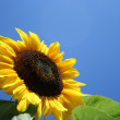 Stock Photo: Sunflower and sky