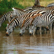 Zebras drink at a waterhole - Stockfoto