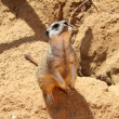 Stock Photo: Meerkat looking up