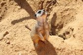 Meerkat looking up — Stock Photo