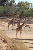 Three giraffe and zebra — Foto Stock
