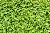 Muur van groene takken framboos — Stockfoto